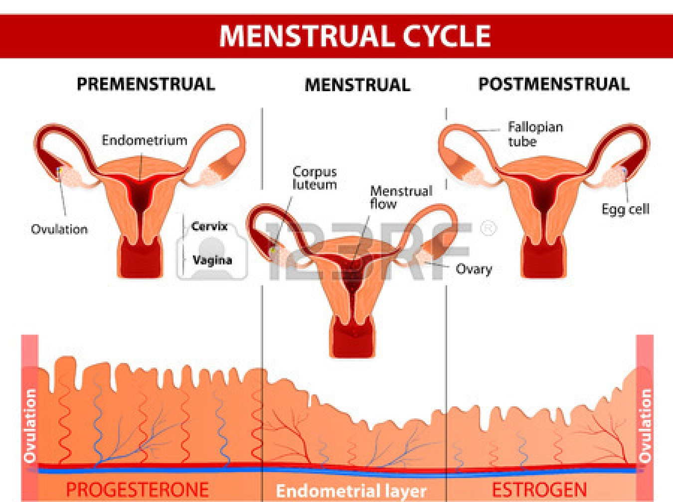 how does your menstrual cycle work